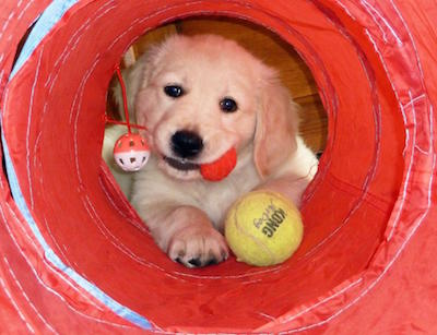 pup golden retriever in tunnel