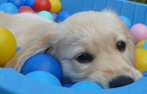 foto Petra Rakers Golden Retriever pup